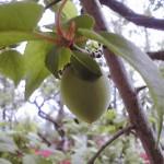 一度わたしももいでみたい。羽根木公園の梅