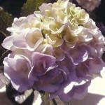 おばあちゃんたちが髪を紫に染めるのはあじさいと同じ自然の摂理